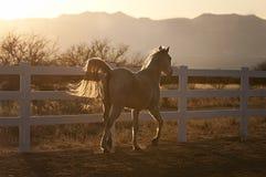 Hintergrundbeleuchtetes Pferd, das bei Sonnenuntergang trottet Stockfotos