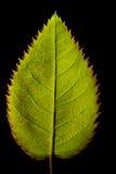 Hintergrundbeleuchtetes Rosenblatt Stockfoto