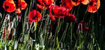hintergrundbeleuchtetes wildes Poppys an einem sonnigen Abend stockfoto