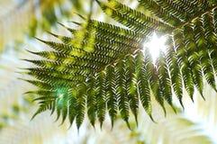 Hintergrundbeleuchtung-Farn Stockbild