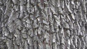 Hintergrundbeschaffenheit der Baumbarke Enthäuten Sie die Barke eines Baums, der das Knacken nachvollzieht stock video