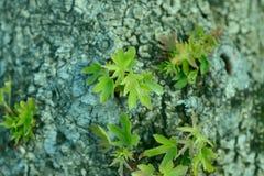 Hintergrundbeschaffenheit der grauen Barke eines alten Baums mit grünen Trieben stockbild