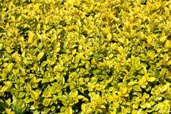 Hintergrundbeschaffenheit des Gelbs zu den hellgrünen Blättern auf räumlich knapp bemessenen dicht gepflanzten Sträuchen der Heck stockfotografie
