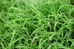 Hintergrundbeschaffenheit des grünen Grases Stockbild