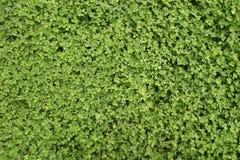 Hintergrundbeschaffenheit des grünen Grases. Lizenzfreies Stockbild