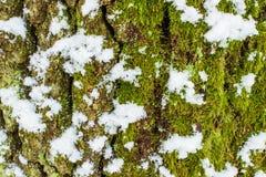 Hintergrundbeschaffenheit des Mooses auf der Barke eines Baums mit Schnee am hellen Wintertag Stockfotografie