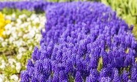 Hintergrundbeschaffenheit eines Blumenbeets mit einem Purpur Muscarifrühling blüht Lizenzfreies Stockfoto