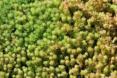 Hintergrundbeschaffenheit machte von dicht gepflanzter robuster saftiger Bodendecke Sedum oder des Mauerpfeffers beständige Grünp stockbilder