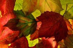 Hintergrundbeschaffenheitsabschluß oben von Blättern des Herbstes (Fall) Lizenzfreie Stockfotos