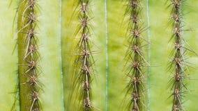 Hintergrundbeschaffenheitsreihen von Kaktusnadeln Lizenzfreies Stockbild