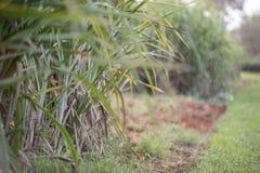 Hintergrundgrünblätter des Zuckerrohrs, das den Himmel als a bewölkt Lizenzfreie Stockfotos