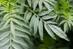 Hintergrundgrünblätter von Ringelblumen Stockfoto