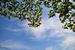 Hintergrundhimmel und Baumblatt lizenzfreie stockfotos