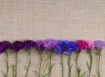 Hintergrundkornblumen Stockbilder