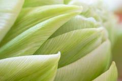 Hintergrundnahaufnahmeblumen-Weißtulpe Stockfotografie