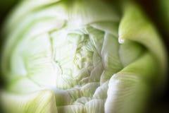 Hintergrundnahaufnahmeblumen-Weißtulpe Lizenzfreie Stockfotos