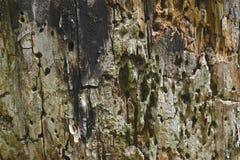 Hintergrundoberfläche des sehr alten Baumstammes mit den Löchern, der durch Ameisen gemacht wurde lizenzfreies stockfoto