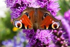 Hintergrundschmetterlings-Pfauauge auf Blume purpurrotem Liatris spicata Stockbild