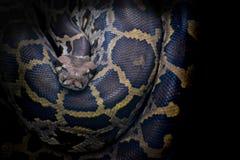 Hinterhaltfleischfresser der indischen Pythonschlange, bleiben in einem camouflag bewegungslos stockbild
