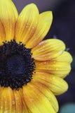 Hinterhof-Sonnenblume Stockfoto