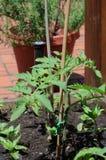 Hinterhof-Tomatenpflanze Stockbilder