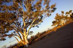 Hinterland-Gummi-Bäume Lizenzfreie Stockfotos