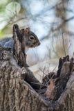 Hinterlistiges Eichhörnchen stockfoto