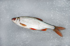 Hinterwelle, die auf dem Eis, dieses Winterfischen liegt Stockfotos