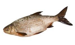 Hinterwellenfrischwasserfische lokalisiert auf weißem Hintergrund Stockbild