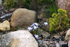 Hionodoksa Sardinian among the stones. Hionodoksa Sardinian among rocks on the Alpine hill stock image