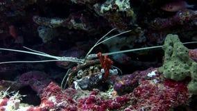 Hios καβουριών υποβρύχια σε αναζήτηση των τροφίμων στο βυθό των Μαλδίβες απόθεμα βίντεο