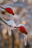 Hip berries in ice Royalty Free Stock Photo