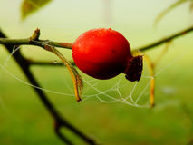Hip berry with spiderweb detail Royalty Free Stock Image