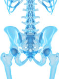 The hip bone Stock Image