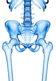 The hip joint Royalty Free Stock Image