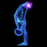 Hip joint Royalty Free Stock Images