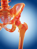 Hip joint Royalty Free Stock Photography