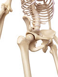 The hip joint stock illustration