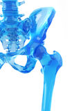 The hip joint. Medically accurate illustration of the hip joint Stock Images