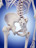 The hip joint Stock Image