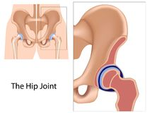 Hip joint structure Stock Images