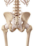 The hip ligaments Stock Photos