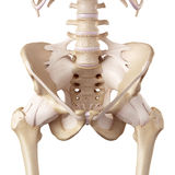 The hip ligaments. Medical accurate illustration of the hip ligaments stock illustration