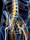 The hip nerves Royalty Free Stock Photography