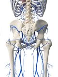 The hip veins. 3d rendered medically accurate illustration of the hip veins vector illustration