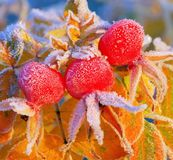 Hip in winter Stock Image