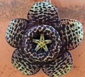 Hipnotyczne flory Fotografia Royalty Free