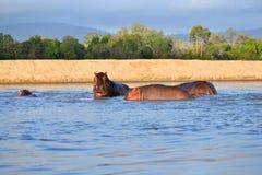 Hipo в бассейне Стоковые Фото