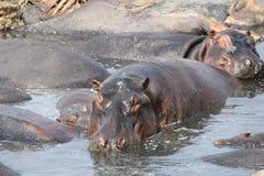 Hipo pendant le temps de jour au parc national Tanzanie de ruaha photographie stock