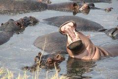 Hipo under dagtid på ruahanationalparken Tanzania Royaltyfria Bilder